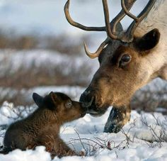 A Caribou Mom ~ With Her Young Calf.