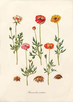 Antique botanical print of ranunculus