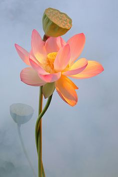 Lotus Flower von Bahman Farzad ❥ॐ ✫ ✫ ♥ ♥ ❖❣❖✿ღ✿ ॐ … - Blumen Dekoration Exotic Flowers, Amazing Flowers, Beautiful Flowers, Fleur Orange, Lotus Painting, Flower Aesthetic, Water Lilies, Flower Art, Flower Power