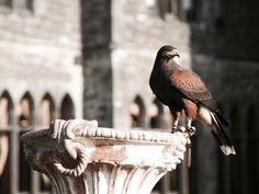 Falcon | The North Realm