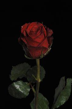 "500px / Photo ""Dark Red Rose"" by Cristobal Garciaferro Rubio"