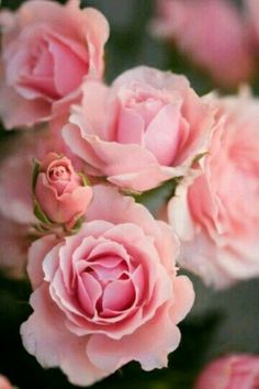 "Pink Spray Roses from ""Flora"""