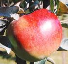 """Enterprise Dwarf Apple  A super-sized winesap type! Measures up to 4"""" in diameter. It has that old-time flavor combination of tart and sweet. This variety provides more fruit, with less peeling, to make excellent pies and tarts. Improved flavor, texture and disease resistance.    Shipped at 1 1/2 to 2 1/2 Feet"""