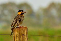 Foto pica-pau-do-campo (Colaptes campestris) por Carlos S. Rodrigues | Wiki Aves - A Enciclopédia das Aves do Brasil