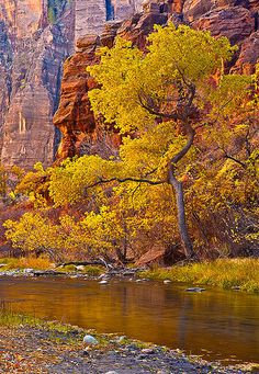 A cottonwood tree along the Virgin River in Zion National Park, Utah basks in the warm glow of reflected light. Beautiful World, Beautiful Places, Beautiful Pictures, Places To Travel, Places To See, Beau Site, Photos Voyages, All Nature, Zion National Park