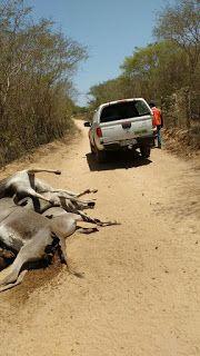 NONATO NOTÍCIAS: BONFIM: ANIMAIS MORTOS NA ESTRADA DE CANAVIEIRA SE...