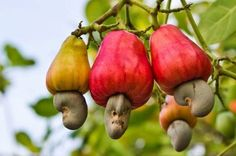 cashew-nut-growing_miniカシューナッツは、  カシューの果実の下についている部分です。