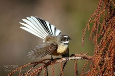 The South Island fantail is a small insectivorous bird found only in New Zealand. It lives from highlands to lowlands. I Like Birds, New Zealand South Island, Nz Art, Natural Instinct, Kiwiana, Watercolor Bird, Sea Birds, Bird Species, Beautiful Birds