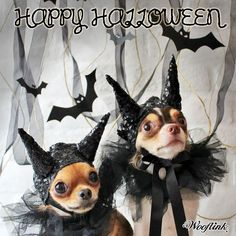 Chihuahua bats...of course!