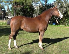 VENDIDO -ALAZAN TOSTADO muy manso y funcional Horses, Animals, Horses For Sale, Walks, To Sell, Animais, Animales, Animaux, Animal
