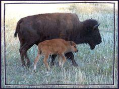 Bison roam free around the Mount Rushmore area
