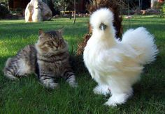 """A Silkie Bantam Chicken. My Uncle had one and we called her """"Tina Turner"""" because of her hair-do."""