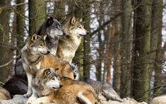 Which wolf are you?   Health and Fitness by Aimee