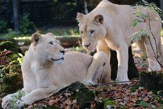 witte leeuw Ouwehands JN6A6201