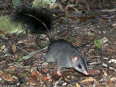 Phascogale tapoatafa (vakorejsek chvostnatý či štětkatý, Dasyuridae)