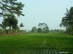 paddy field photo