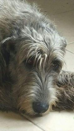 The Irish. One of my favorite breeds. Big Dogs, I Love Dogs, Dogs And Puppies, Adorable Dogs, Adorable Animals, Scottish Deerhound, Irish Wolfhounds, Irish Hound, Hound Breeds