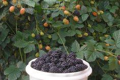 Espécies de frutíferas se desenvolvem em vasos, colorindo sacadas e jardins - Donna - Diário Catarinense