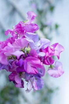 Olen niin onnellinen tuoksuherneeni kukista ja tänään poimin niistä pienen kimpun. Tästä lähtien kylvän näitä aivan varmasti joka vuosi.
