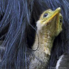 Viaggi: #Photo by #@christianziegler. A 6-week old cassowary... (natgeo) (link: http://ift.tt/2fwwNs9 )