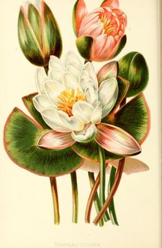 Sweet-scented Water-lily. Plate from 'The Native Flowers and Ferns of the United States' by Thomas Meehan. Published 1878 by L. Prang archive.org