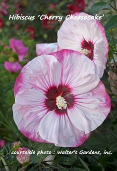 Hibiscus 'Cherry Cheesecake' – Ketmie des marais – Hibiscus vivace – Rose Mallow - Jardins Michel Corbeil