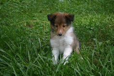 gots me one of these little sheltie puppy