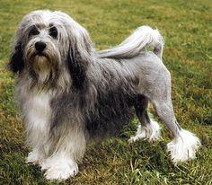 The Lowchen   Lowchen - little lion, dog photos