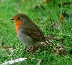 vogels in de tuin: roodborst
