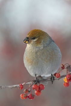 Pine Grosbeak - Durbec des sapins by Michel Gauvin