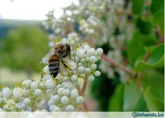 Bijenboom - Tetradium daniellii - Te koop