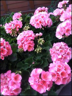 Brilliant Geraniums to spruce up your front door!