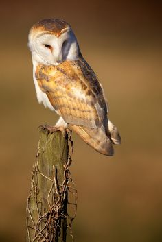 watching voles by Mark Bridger. I am in love with this owl.