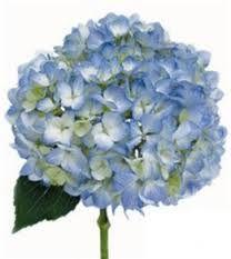 Blue Hydrangea - Google Search