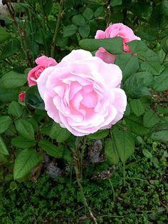 Кипрские  розы.
