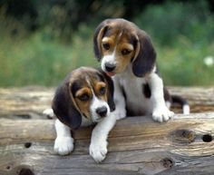 I love me some beagle puppies