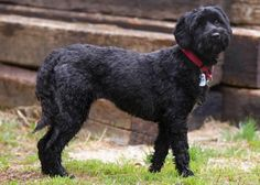 Petango.com – Meet Elvira, a 6 years Spaniel, English Cocker / Poodle, Standard available for adoption in COLORADO SPRINGS, CO