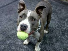 TO BE DESTROYED 9/10/14 Manhattan Center -P  My name is JESSICA. My Animal ID # is A1012563. I am a female gray and white pit bull mix. The shelter thinks I am about 2 YEARS  ***$150 DONATION to the NEW HOPE rescue that pulls! See URGENT for details!***  I came in the shelter as a STRAY on 09/01/2014 from NY 10475, owner surrender reason stated was…