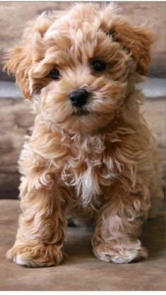 Maltipoo via @jena1125. #dogs #maltipoo #CuteFluffyThings