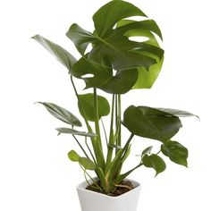 Monstera | Blomsterlandet.se Monstera Deliciosa, Garden Plants, Indoor Plants, Swiss Cheese Plant, Green Office, Vines, Roots, Plant Leaves, Tropical