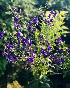Der Eisenhut Eine Der Giftigsten Pflanzen Eisenhut Garten Cottagegarden Instagarden Flowerstagram Bauerngarten Gardening Garden Bitki Resim Garten