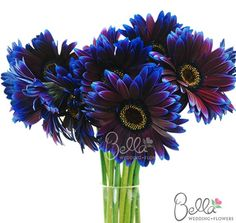 Dark Purple/Burgundy tinted gerbera daisies are fresh, fun and cheerful wedding flowers. Did you know that gerbera daisies are the 2nd most popular flower, after roses? These standard size gerberas are the perfect size for wedding bouquets and vases. As always, our Dark Purple/Burgundy Gerberas are shipped directly from the grower. Take advantage of our Free Shipping with your wholesale gerbera daisies flower order!