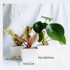 PEPEROMIAS Al necesitar riegos poco frecuentes y poca luz hacen que sean plantas de fácil cuidado.Plantadas en matera de cerámica Plant Care, Evergreen, Tropical, Irrigation, Plants