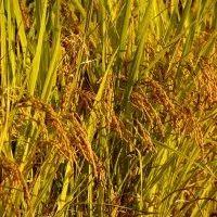 விவசாயம் | Vivasayam பற்றிய கட்டுரைகள் ,தோட்டக்கலை பயிர்கள், ஆடு மாடு வளர்ப்பு Blog Images, Herbs, Herb, Medicinal Plants