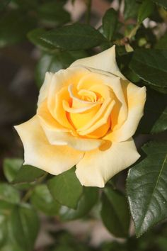 Yellow Tea Rose