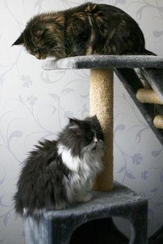 http://view.stern.de/de/picture/Katze-katzen-Zwei-Perser-Maine-Coon-Main-Coon-Minka-2359073.html?u=161433