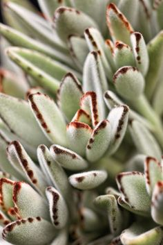 Succulent, Panda Plant - Our Plants - Kaw Valley Greenhouses