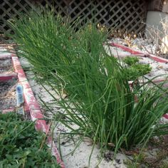 Gardening Tips for Growing Chives (Plus recipes!)
