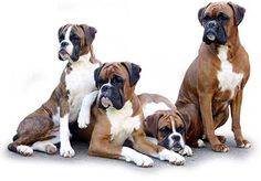 I'm partial to the boxer breed but lover of all dogs.