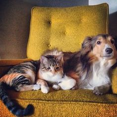 Sheltie and Kitty cuddling in the chair